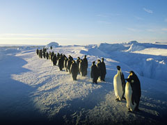 fonds d 39 cran gps pingouins sur la banquise. Black Bedroom Furniture Sets. Home Design Ideas
